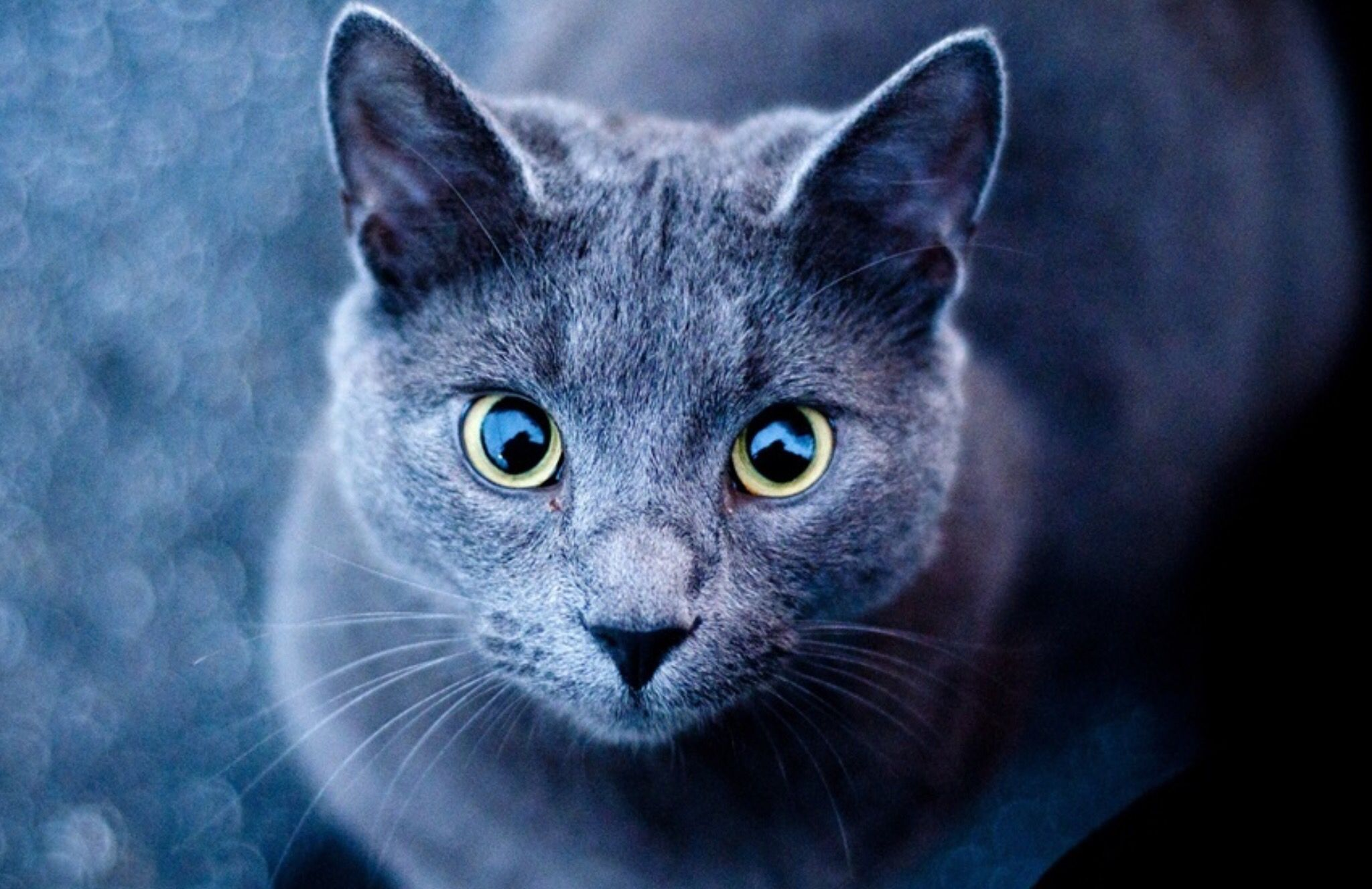 Russian Blue Cat With Beautiful Eyes Blue Cats Russian Blue