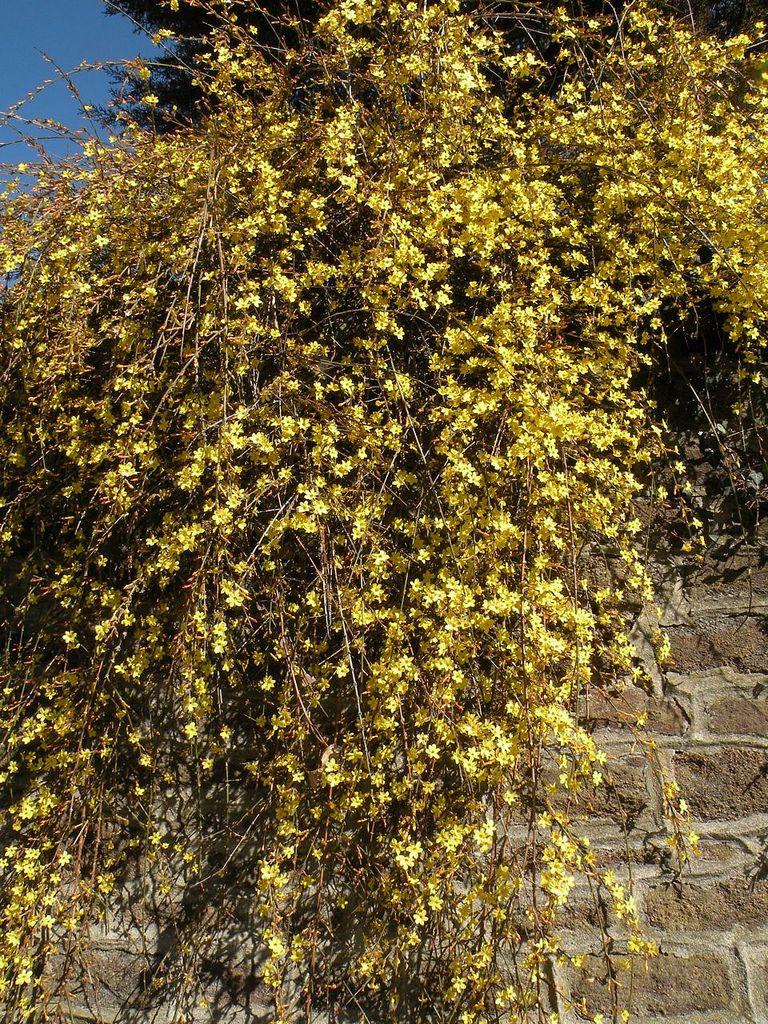 the british gardener old faithful plants winter flowering