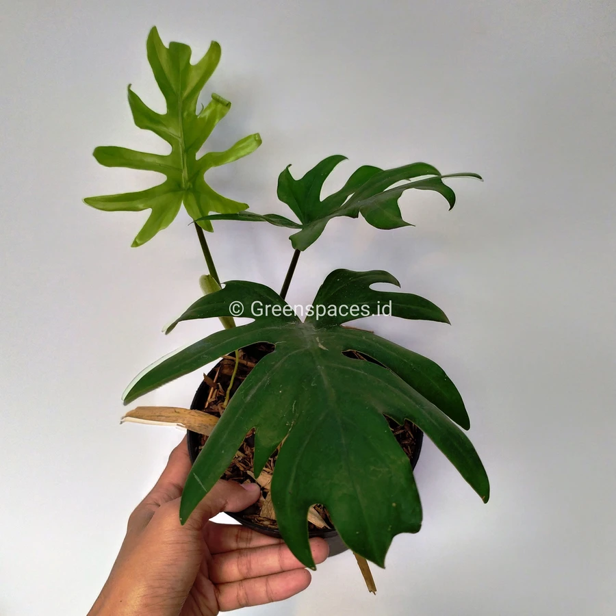 Philodendron Mayoi in 2020 | Philodendron, Plants, Plant ...