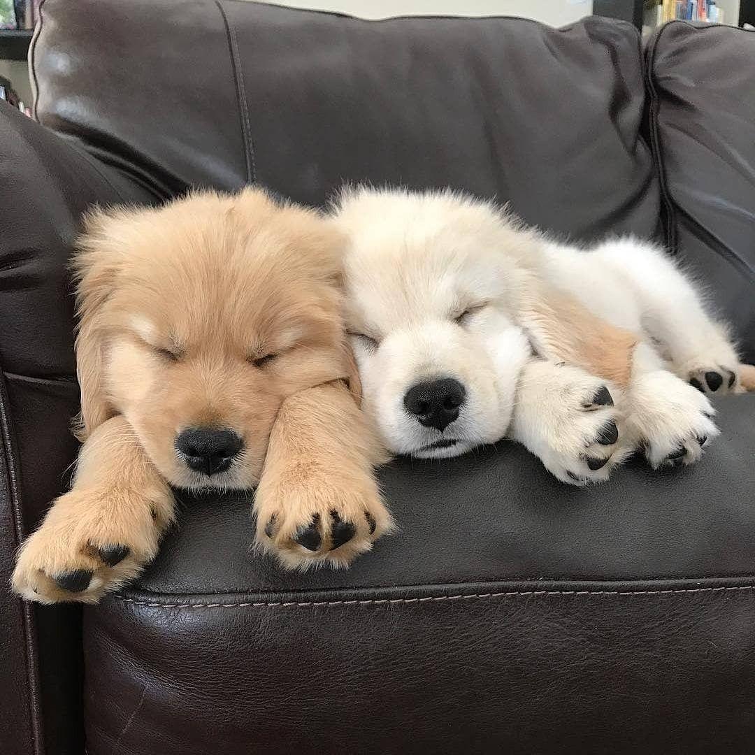 Koda My Bernese Mountain Dog Golden Retriever Mix Puppy