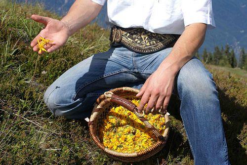 Arnika Ontrattalm Südtirol Beim Arnika sammeln auf der Ontrattalm fühlen sich unsere Gäste vom Naturhotel Rainer besonders wohl. Sabrina Rainer unsere Kräuterlehrerin wird Sie in die Kräutervielfalt der Alpen einführen.