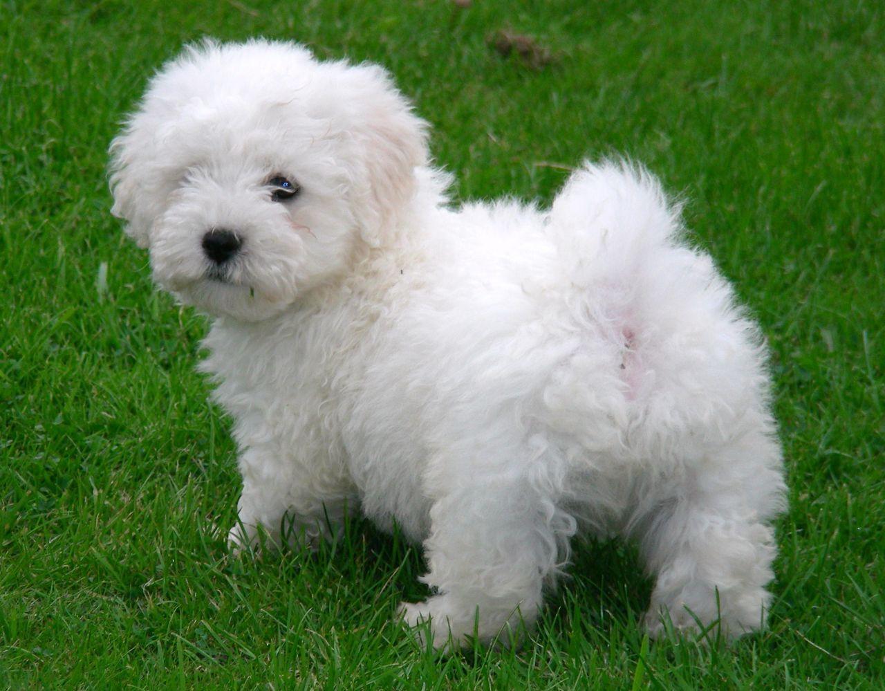 BEAUTIFUL BICHON PUPPIES Puppies, Beautiful dog breeds