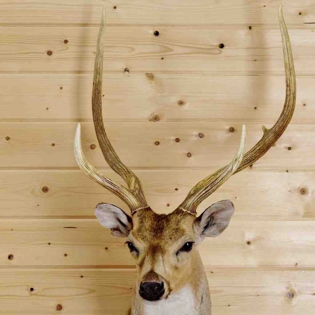 Axis Deer Head Taxidermy Mount for Sale Amazing Axis Deer taxidermy ...