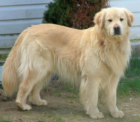 This Golden Retriever Has A Lion S Mane I Want It Dog Breeds