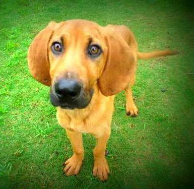 Adopt Josie On Redbone Coonhound Animal Rescue Humane Society