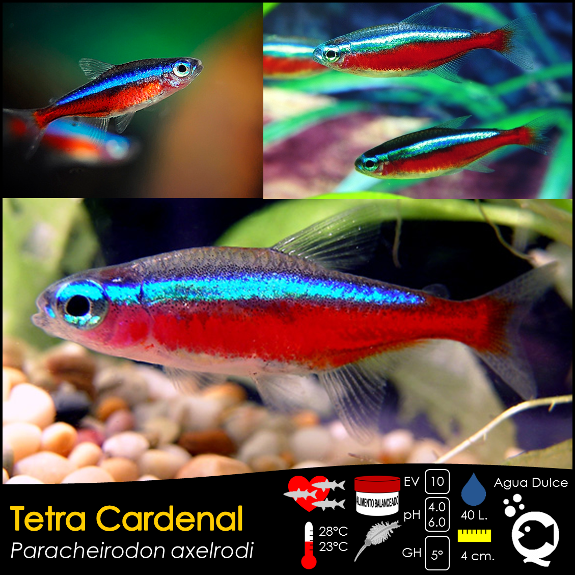 Neon tetra for sale aquariumfish net - Tetra Cardenal De Venta En Aquatic Shop Acuario
