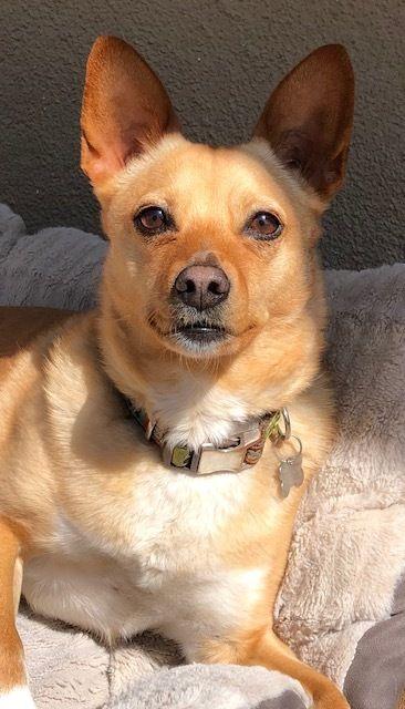 Adopt Maaya on chihuahua mix, Dog adoption, Rescue