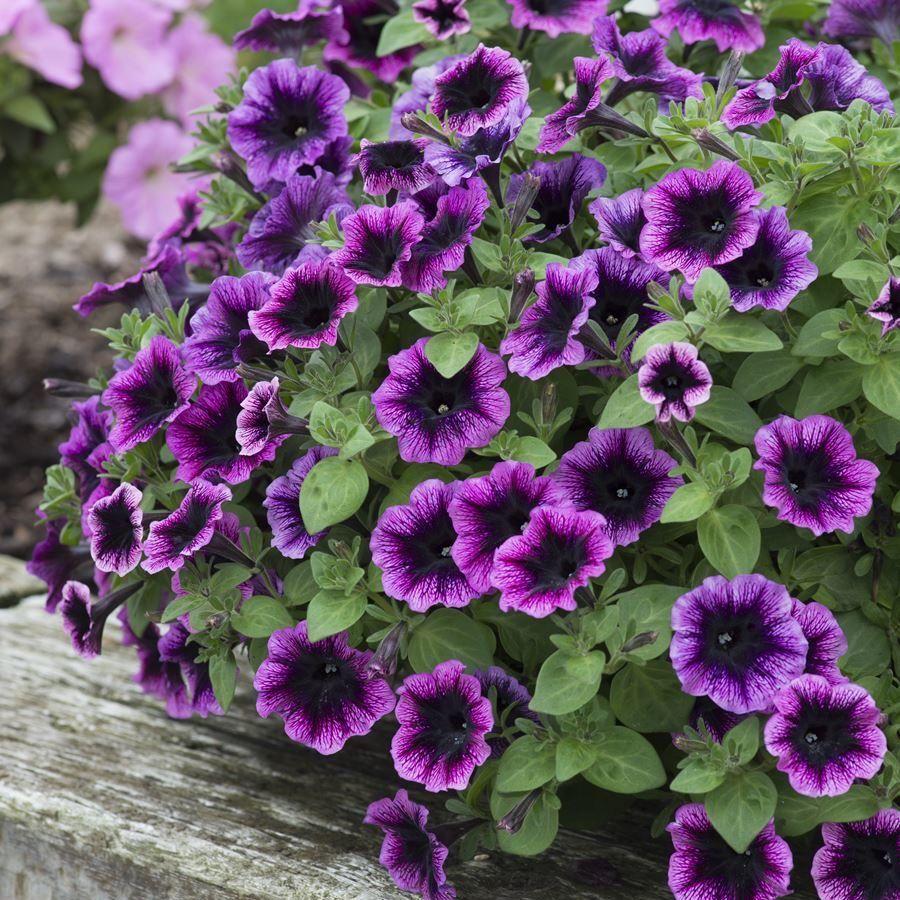 Purple Petunia Ovation Dark Heart Very Early Compact Series Initiating Flowers In Short Days Good Outdoor Performa Purple Petunias Petunias Amazing Gardens