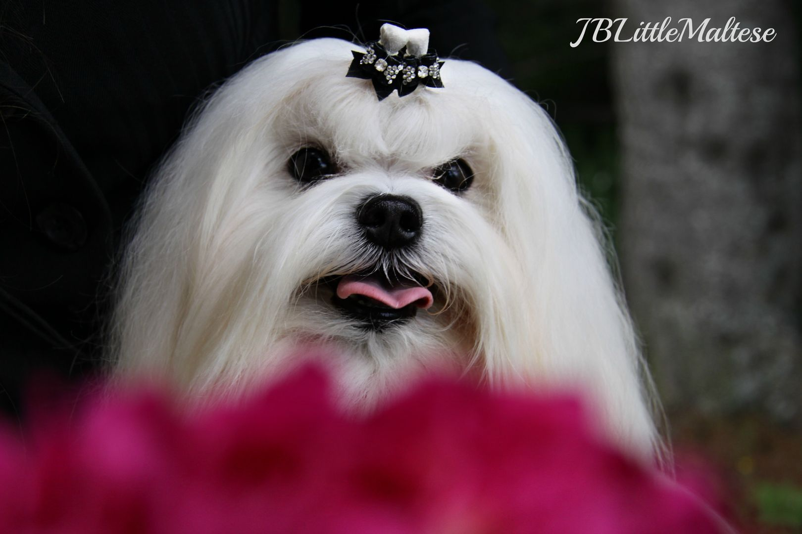 Purebred Canadian Maltese, JBLittleMaltese Reg'd is the