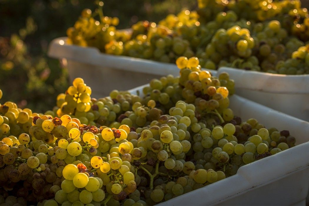 """Some say, """"Cab is King"""" in Napa Valley, and while our red wines are indeed phenomenal, there isnothing better than a cool crisp white..."""