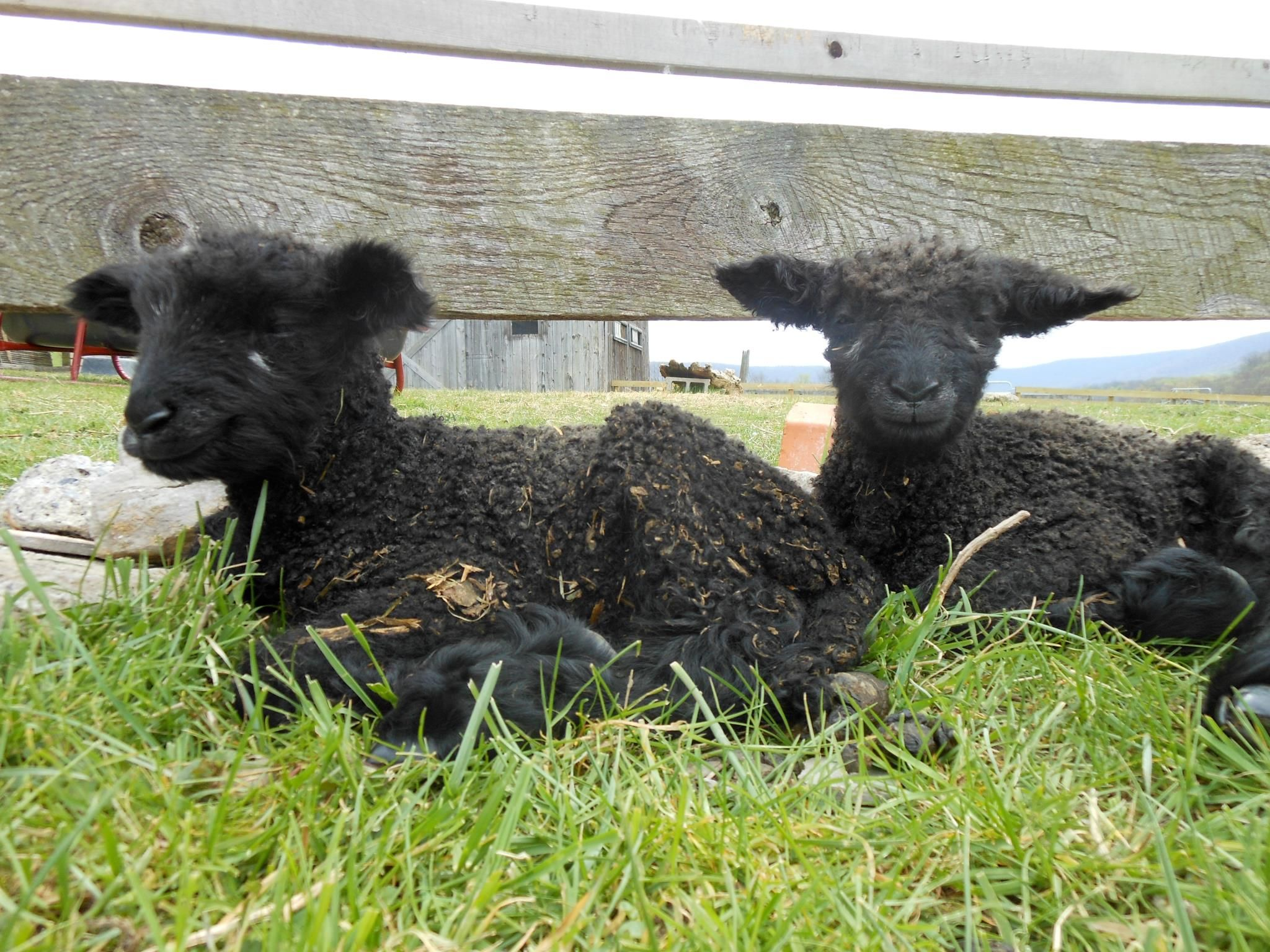 Leicester Longwool sheep Sheep breeds, Sheep and lamb