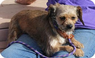 Pictures Of Vivian A Dachshund Brussels Griffon Mix For Adoption