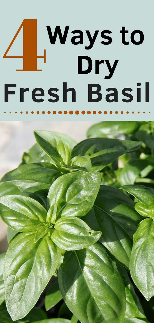 4 Ways to Dry Fresh Basil is part of How to dry basil - How to dry fresh Basil  Drying basil does take some time but once its dried, the flavor lasts and lasts  Of course, there are several ways to dry fresh basil  Learn 4 of them here  Step by step, how to dry and store basil