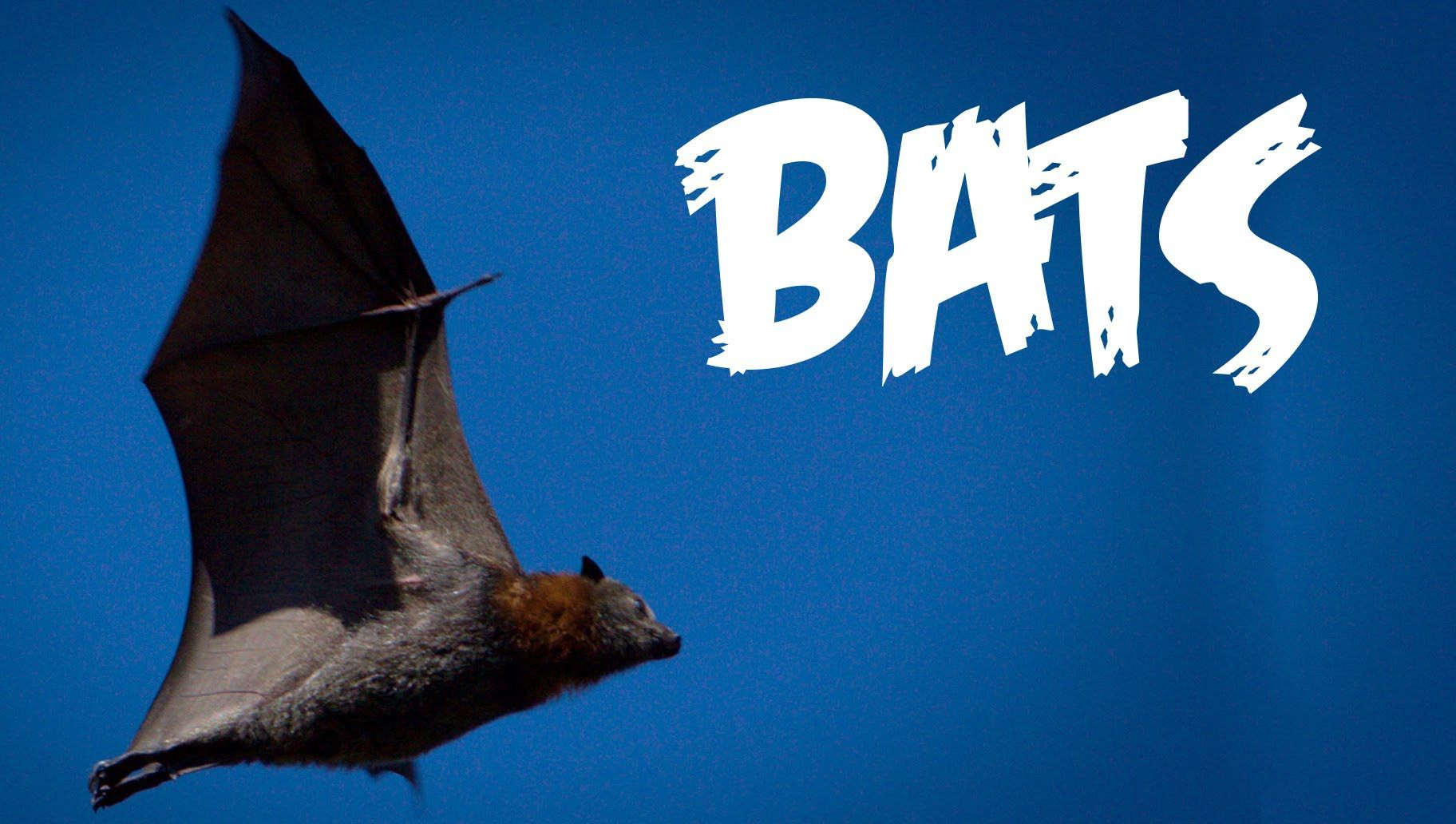 All About Bats For Kids Animal Videos For Children