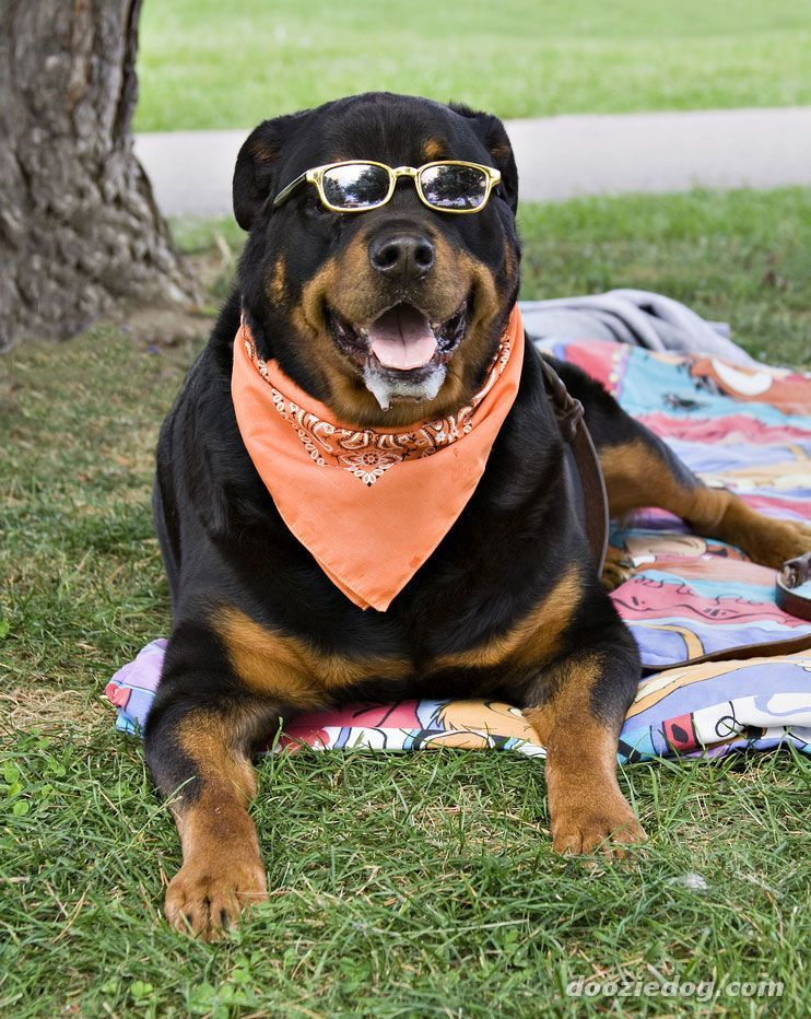 Rottweiler Some Dislike Water And Some Like Water Life Span 8 10