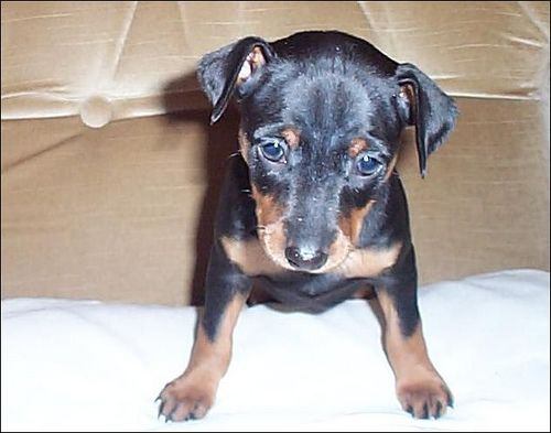 Toy King Black And Rust Miniature Pinscher Puppy Breeder 12