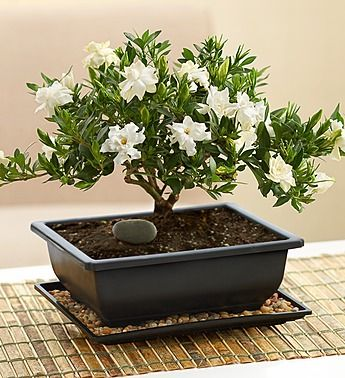 Comforting Gardenia Bonsai From 1 800 Flowers Com 800 Flowers Gardenia Trees Bonsai Plants