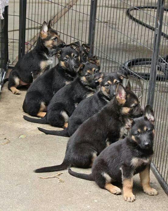 German Shepherd Dog Puppy For Sale In Glendale Az Adn 29144 On
