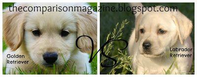 Golden Retrievers Vs Labrador Retrievers Labrador Retriever