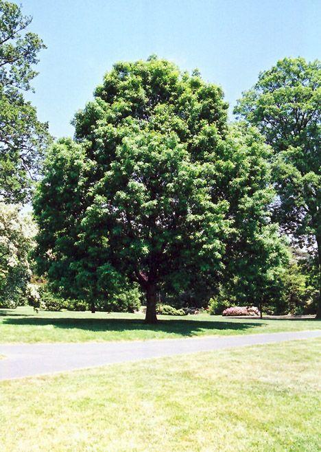White Oak Quercus Alba At The Growing Place White Oak Tree White Oak Deciduous Trees