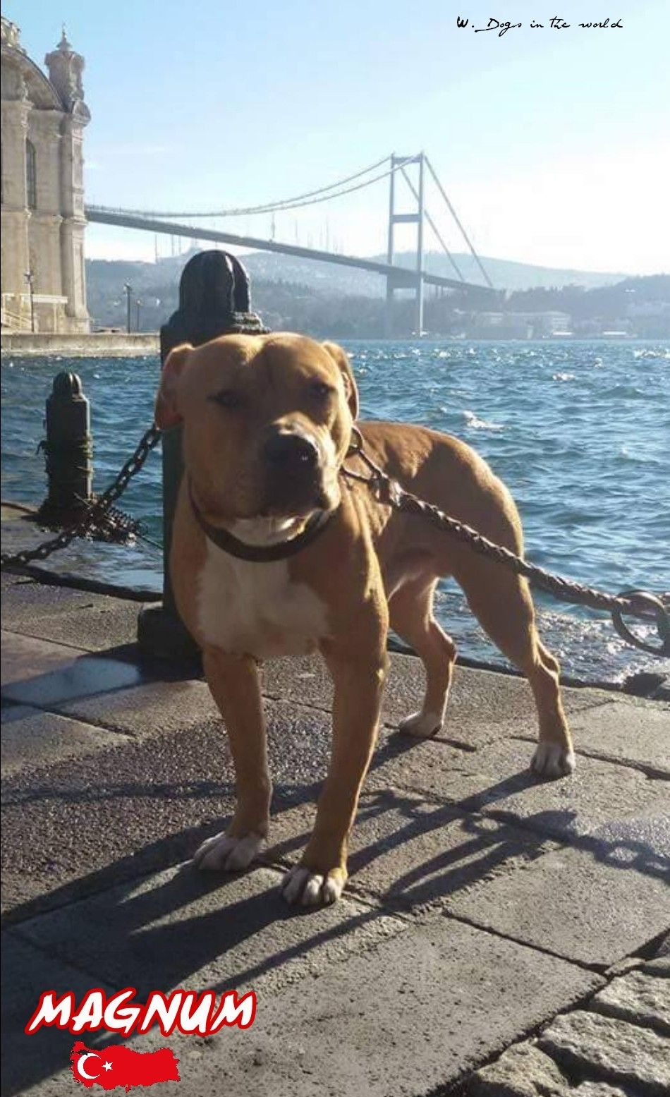 Magnum Adba From Turkiye American Pitbull Terrier Pitbull Dog Pitbull Terrier