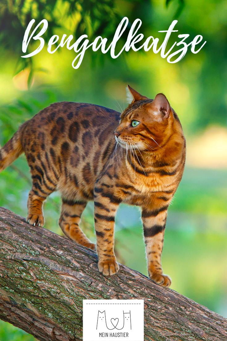 Das Hubsche Fell Mit Leopardenmuster Macht Die Elegante Bengalkatze Zu Einem Echten Hingucker Die Aktiven Katzen Ahn Bengalkatze Bengal Katzchen Katzen Rassen
