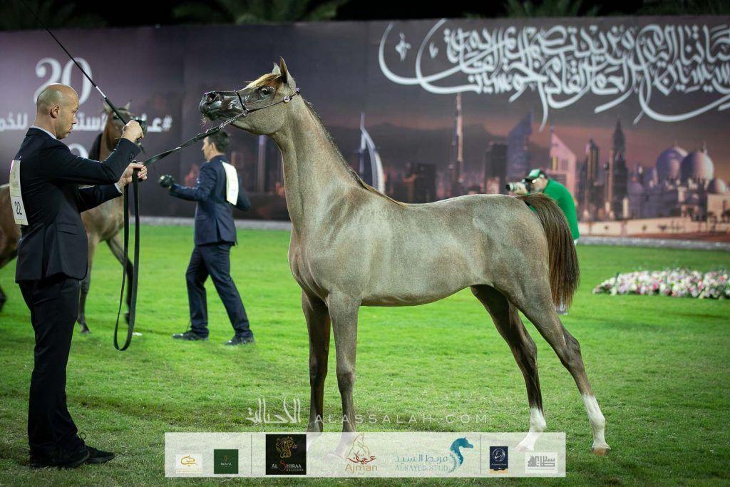 النتائج النهائية للنسخة الـ 18 لبطولة عجمان لجمال الخيول العربية 2020 Horses Arabian Horse Animals
