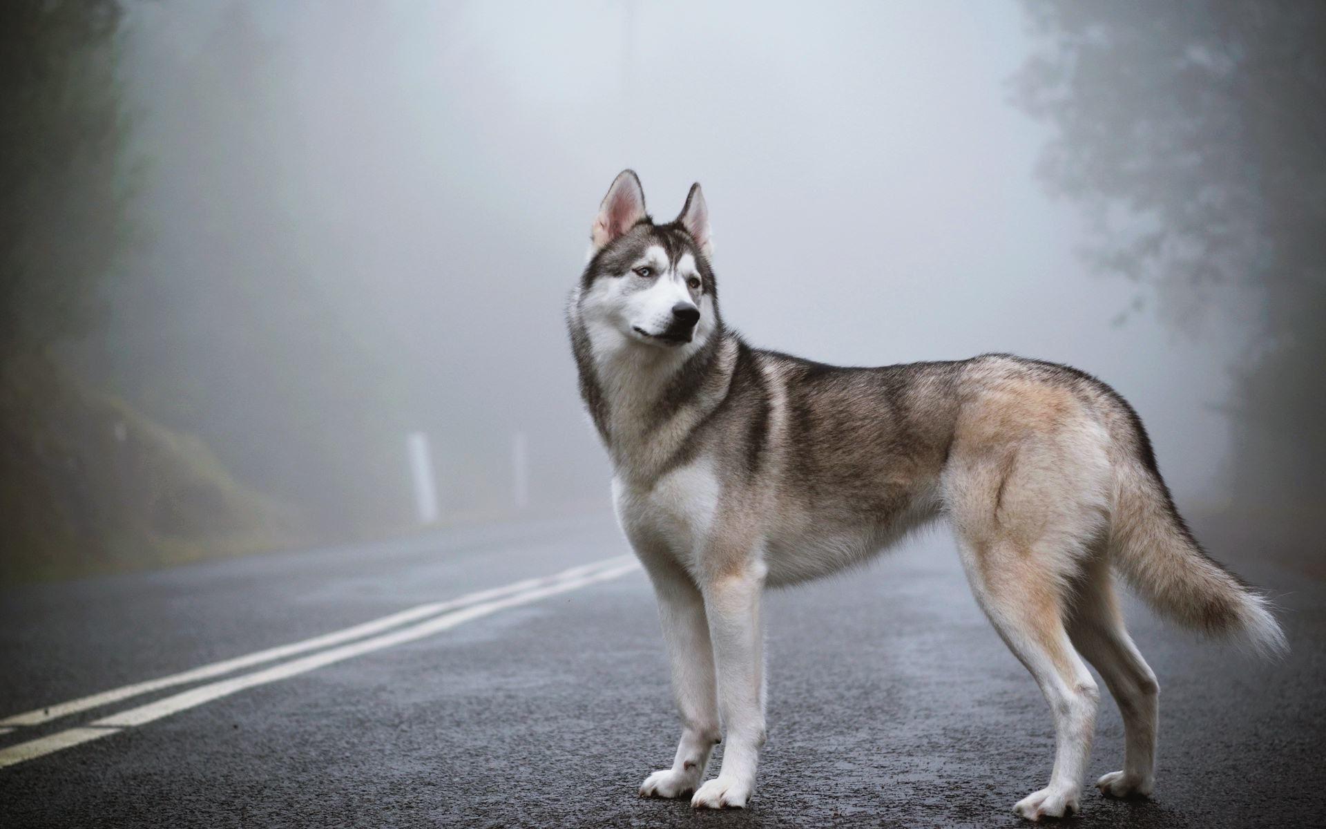 Wild Animals Wallpaper Hd Siberian Husky Husky Dogs Dogs