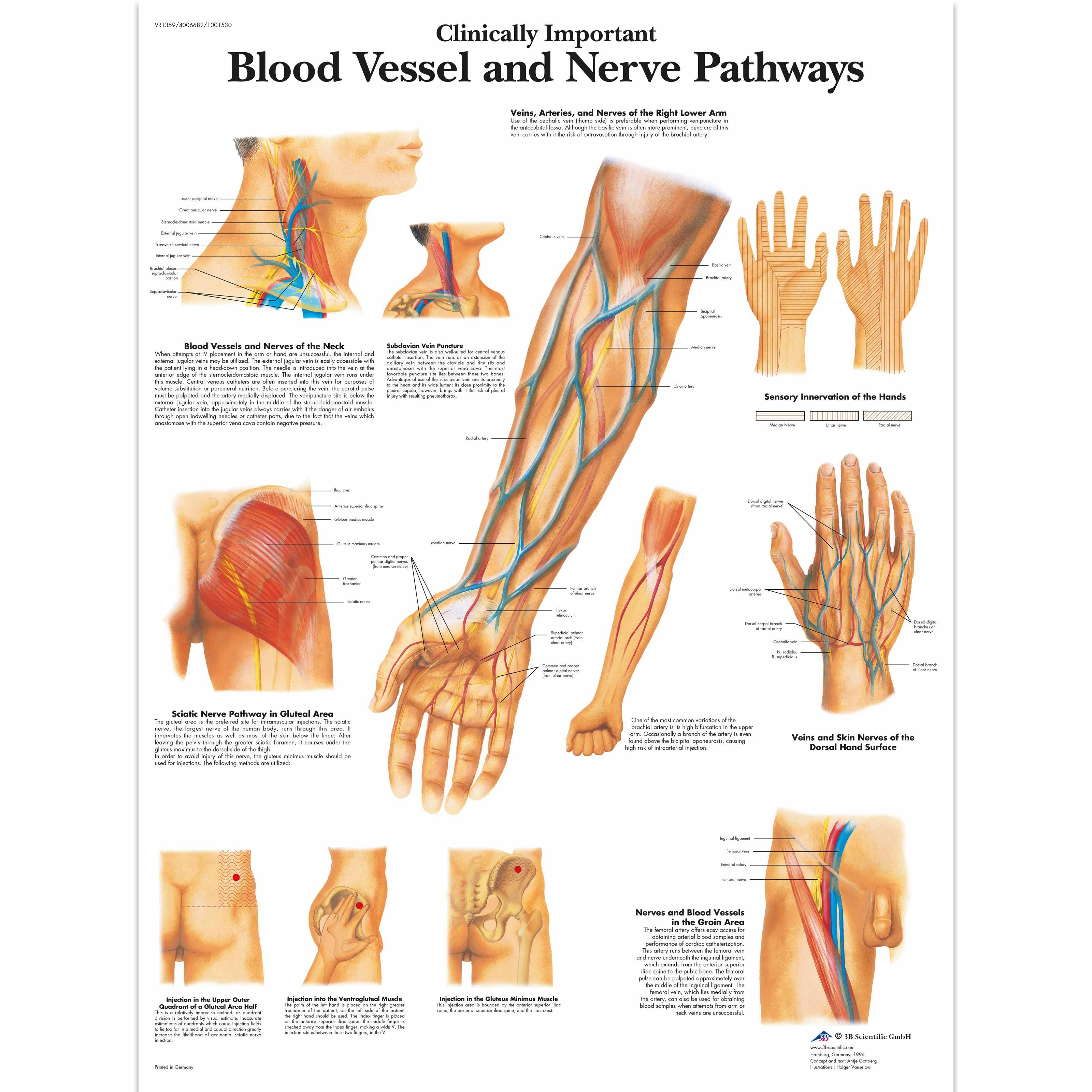 Clinically Important Blood Vessel and Nerve Pathways Chart | Pinterest