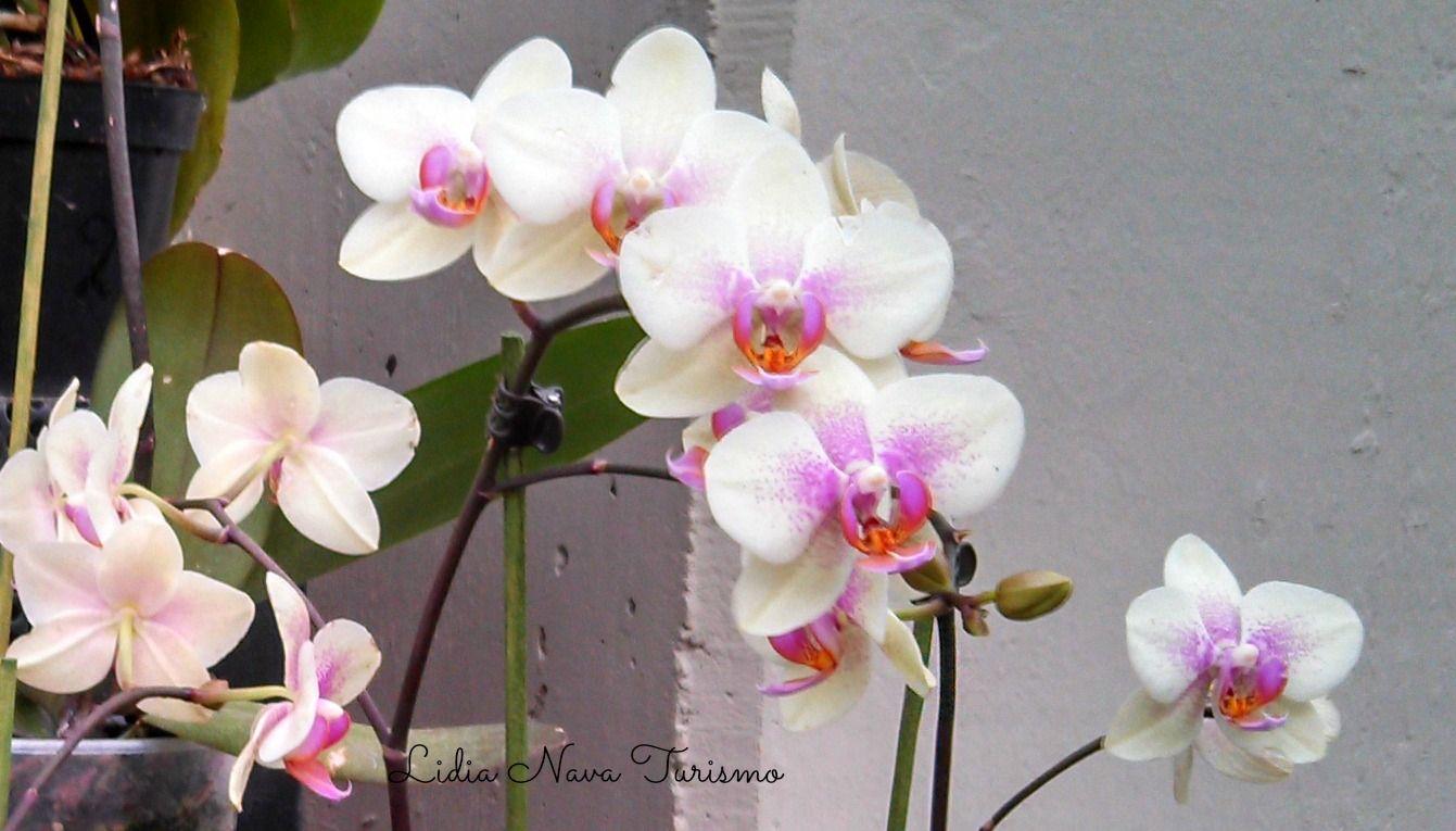 Orquídeas blancas en el Parque Bicentenario en la Cd de México