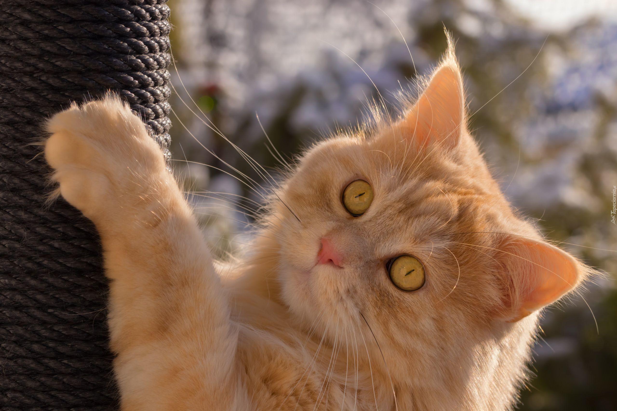 Rudy Kot Drapak Tapety Zwierzęta Tapeciarniapl Pinterest
