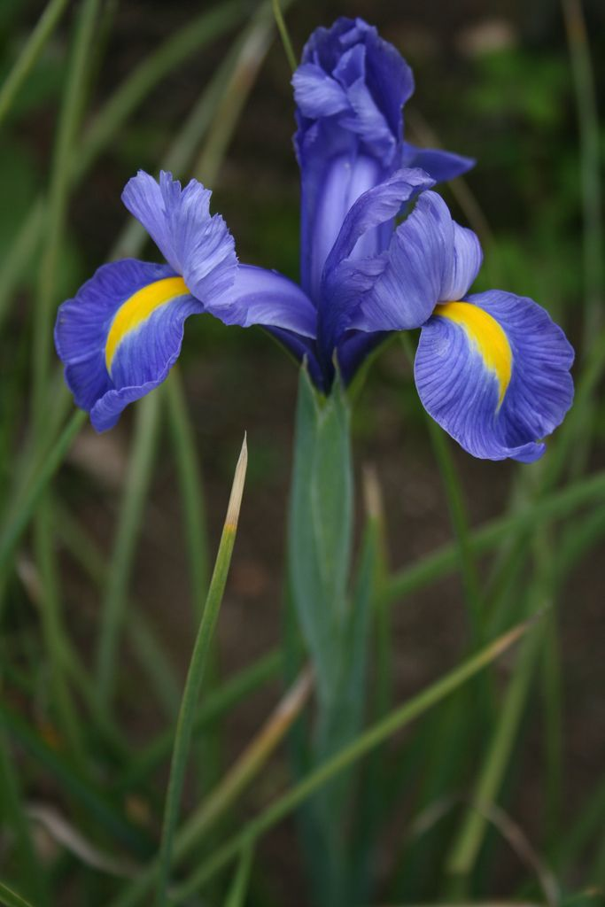 Iris Hollandica Dutch Iris I M Ready For My Closeup Dutch Iris