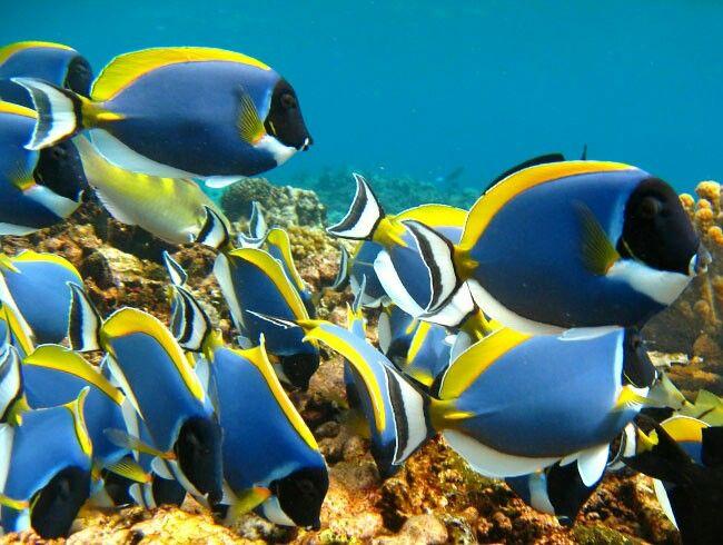 Powder Blue Surgeonfish Marine Animals Sea Creatures Marine Aquarium