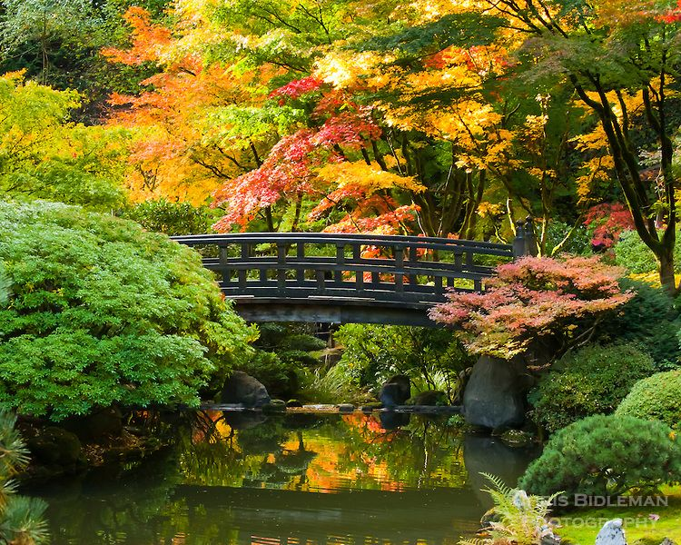 moon bridge in strolling pond garden chisen kaiyu shiki niwa of portland japanese garden with fall colors in trees of red yellow and orange - Red Japanese Garden Bridge