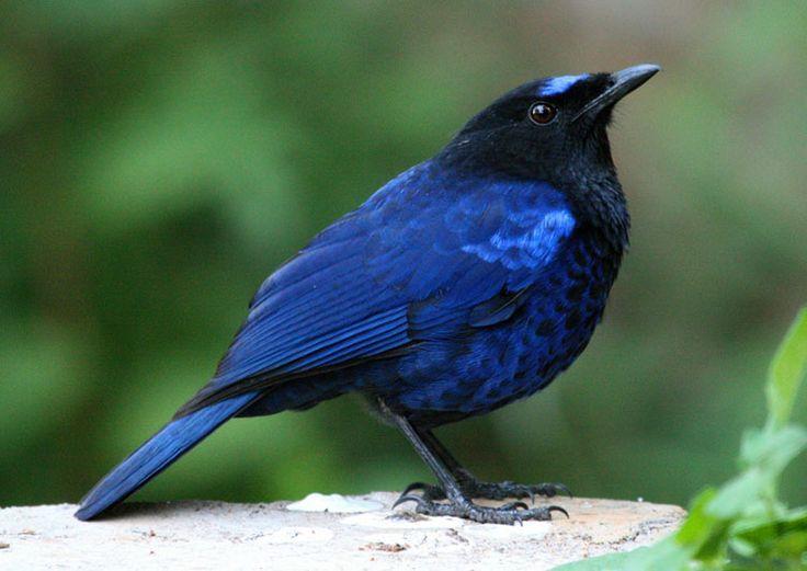 Resultado De Imagem Para Black And White Bird India Black And White Birds Pet Birds Bird