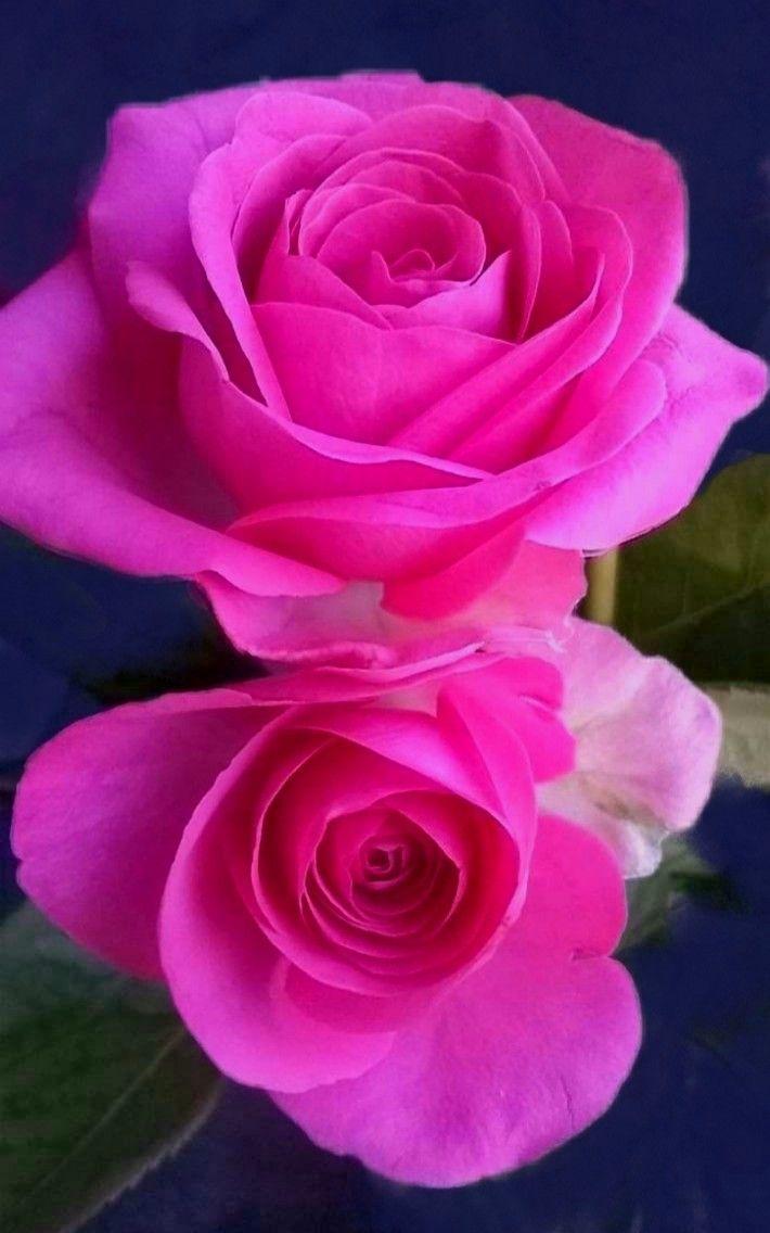Pin on Wonderful Roses