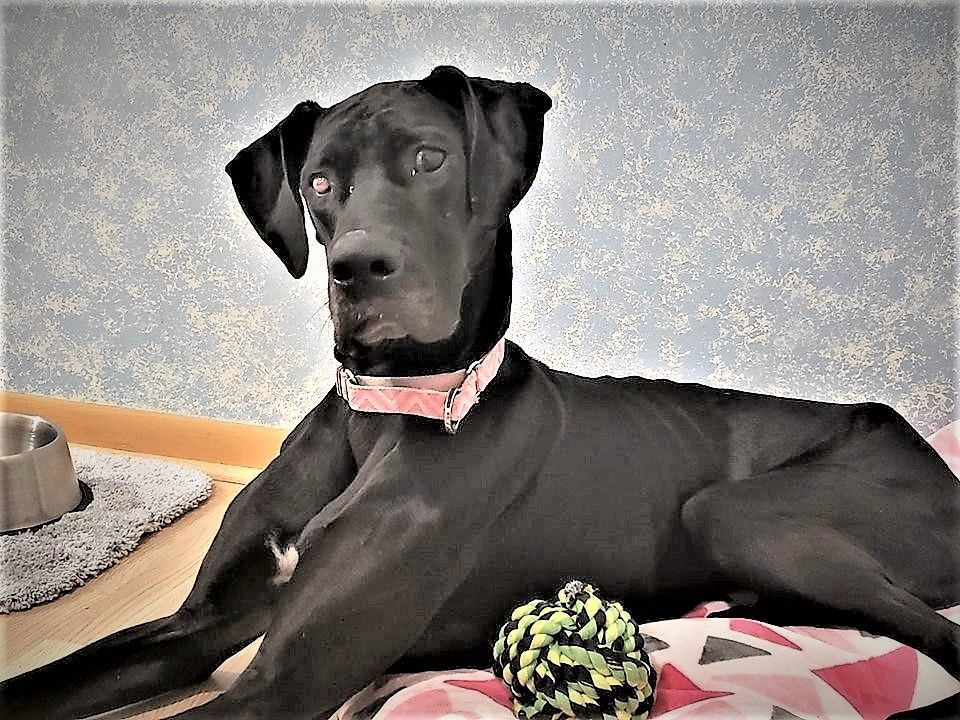 Adopt Jada On Great Dane Rescue Dane Dog Great Dane Dogs