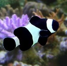 Black Percula Clown Clown Fish Saltwater Fish Tanks Aquarium Fish