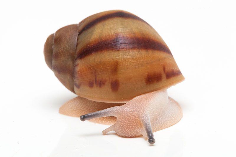 Archachatina Marginata Ovum Nigeria Typ 1 Leucistic Snail Pet Birds Animals