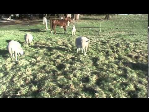 katahadin dorper cross sheep  winter pasture