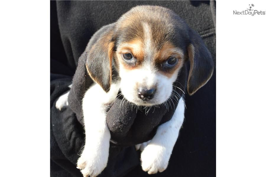 Meet Tom A Cute Beagle Puppy For Sale For 350 Akc Field Show