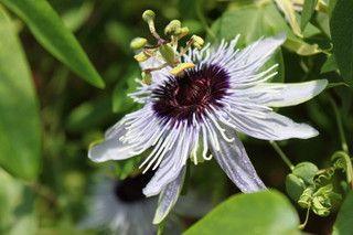 Passionflower Passion Flower Plants Coastal Plain