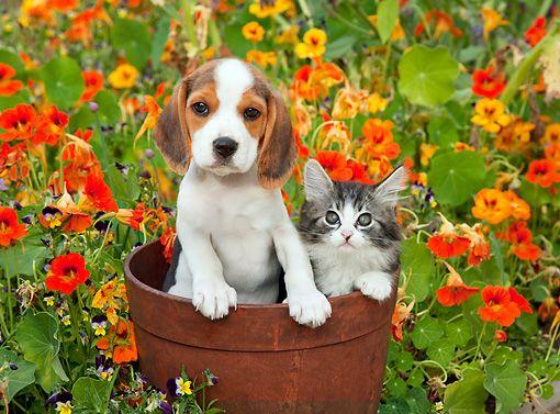 DOK 01 BK0005 01 © Kimball Stock Beagle Puppy And Tabby