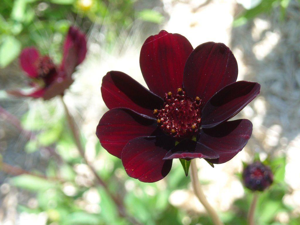 Dark Red Flower By Tinywild On Deviantart Red Flowers Red Flower Wallpaper Red Flower Photos