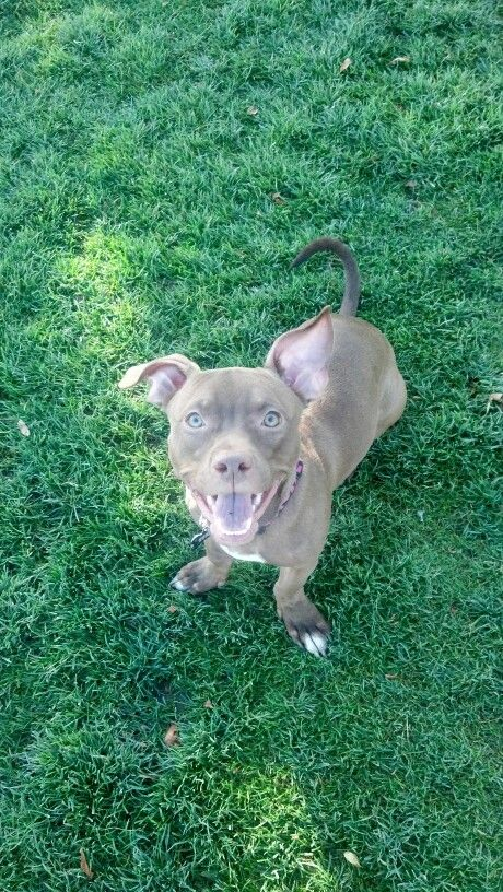 Just A Stubby Legged Chihuahua Pitbull Mix His Name Is Clyde