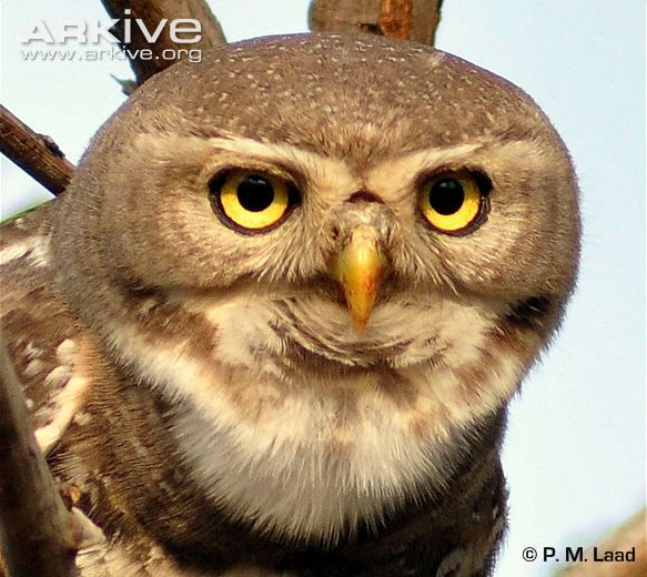 Chevêchette forestière // Forest Owlet (Heteroglaux blewitti) Native to the forests of central India.  Was rediscovered in 1997 after believed to be extinct.  Current population estimated as less than 250.  Critically endangered.
