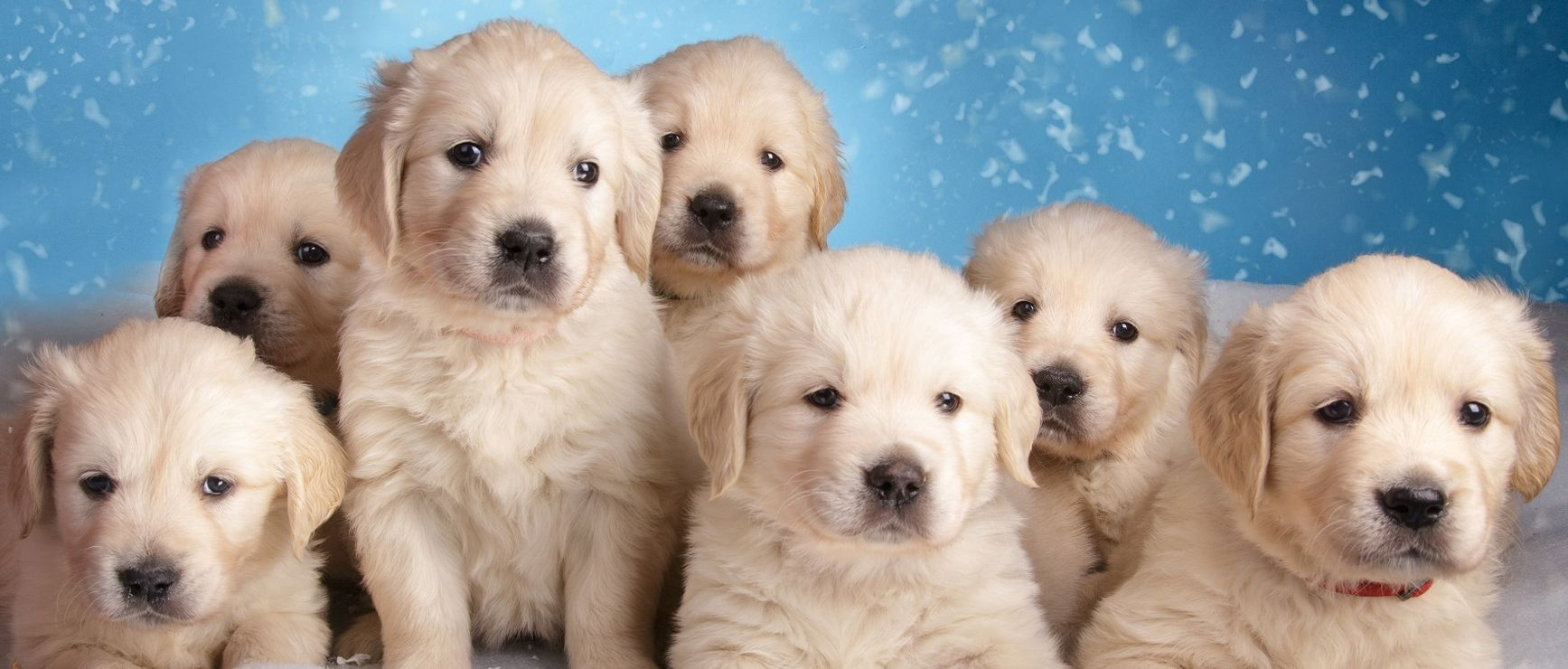Get healthy and ethically bred Golden Retriever puppies
