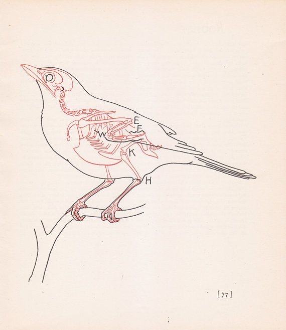 Vintage Robin Anatomy Print Bird Skeleton Color By Vintagegoodness