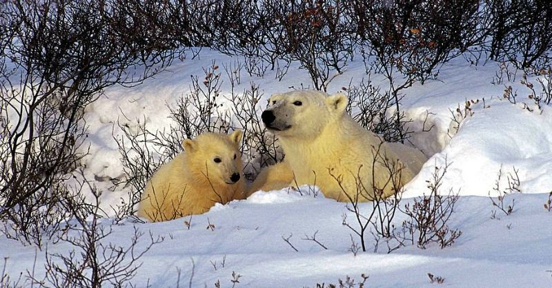 Everything You Always Wanted To Know About Hibernation Baby Polar Bears Cute Little Puppies Animals