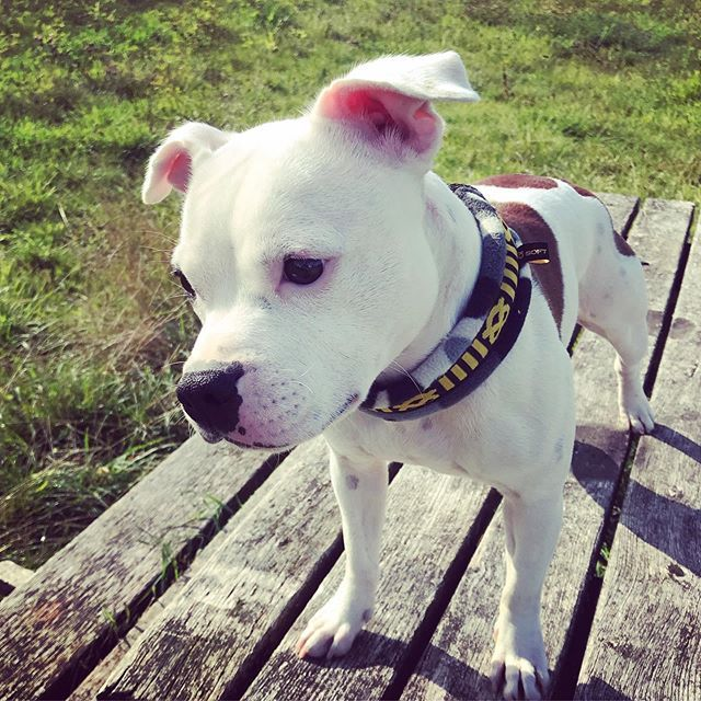 14 Cool Facts About the Staffordshire Bull Terrier | PetPress